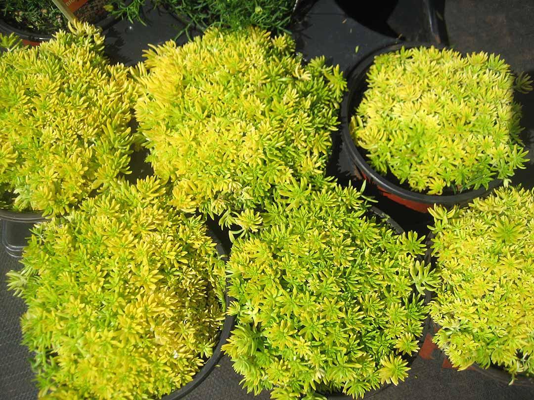 Sedum 'Lemon Coral'   Keokea Perennials