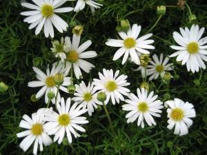 Brachyscome-'Surdaisy-White'-fl