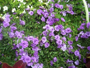 Calibrachoa 'Double Amethyst'-2