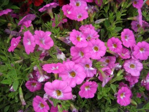 Petchoa 'Pink Ice'