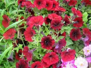 Petunia 'Black Cherry'