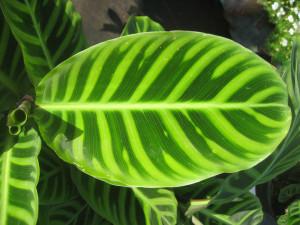 Calathea 'Zebrina' leaf