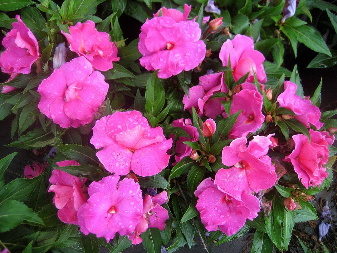Impatiens Ruffles Rose Keokea Perennials