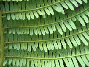 Diplopterygium-pinnatum-sori