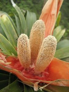 Freycinetia-arborea-fl