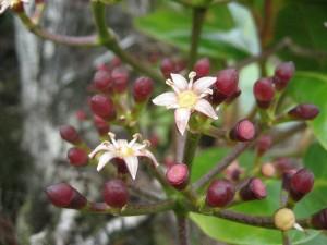 Tetraplasandra-oahuensis-fl