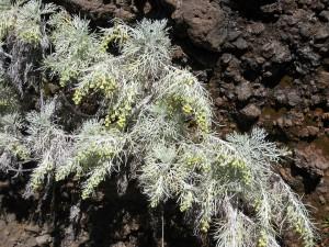 Artemisia-mauiensis-fl-1