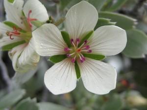 Geranium-cuneatum-ssp-tridens-fl