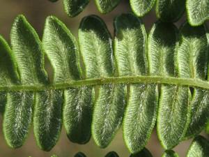 Pteridium-aquilinum-var.-decompositum-sori