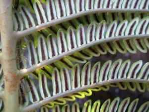 Sadleria-cyatheoides-sori