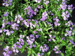 Verbena-'Lilac-Blue'