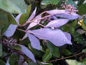 Vitex-purpure-leaf-under
