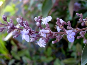 Vitex-purpurea-fl