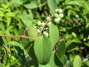 Cocculus-orbiculatus-fr