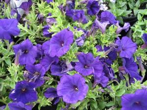 Petunia-'Royal-Velvet'