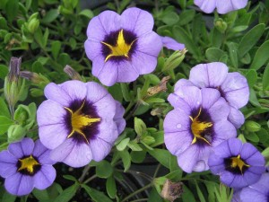 Calibrachoa-'Evening-Star'-fl