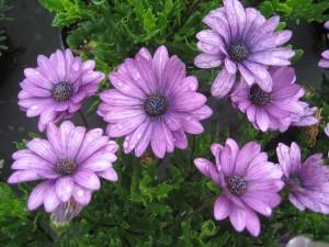 Osteospermum-'Sunny-Elecktra'-2