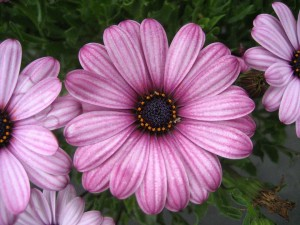 Osteospermum-'Sunny-Elizabeth'-2