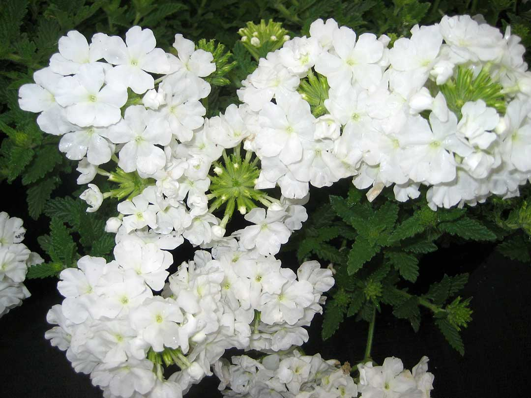 White Verbena Flower | www.imgkid.com - The Image Kid Has It!